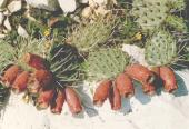 phaeacantha
